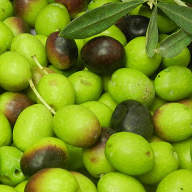Mode de production de notre huile d'olive