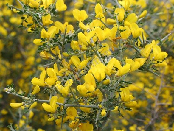 aspalathos blooming
