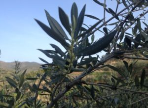 anthi karpoforias elias fruitful olive blossoms
