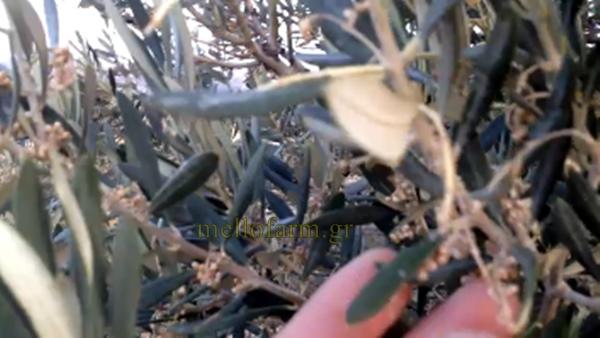 anthoforia elias kausonas zimies elga